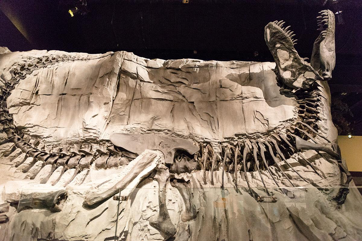 Black Beauty Tyrannosaurus Rex fossil at Drumheller