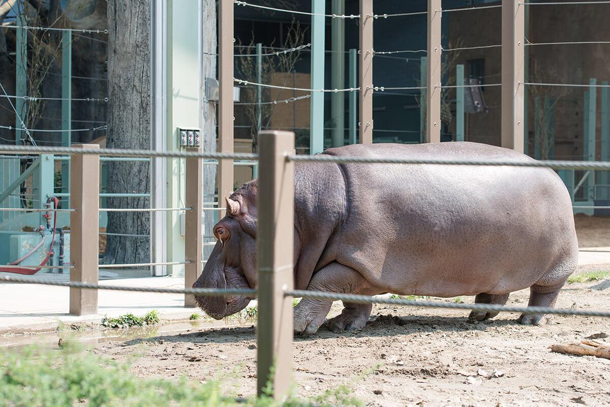The backflipping hippo at the Calgary Zoo