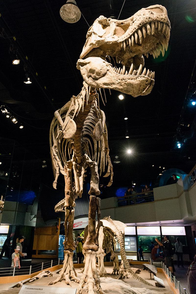 Tyrannosaurus Rex skeleton in Drumheller Alberta